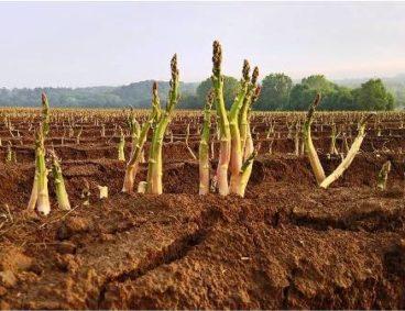Reservas en raíces, indicador de gestión de cultivos