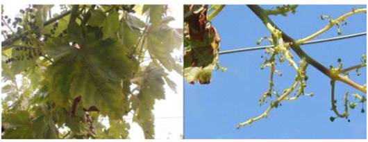 Fiebre de primavera en uva de mesa