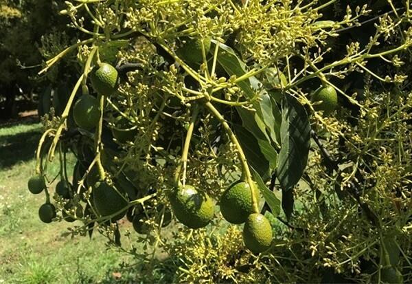 Seguimiento Nutricional en cultivos de Aguacate