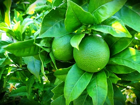cultivos de citricos Mexico
