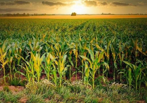 Acuerdo para cultivos de maíz de alto rendimiento