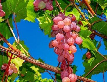 Temporada de uva y uso de Etefón en Sonora